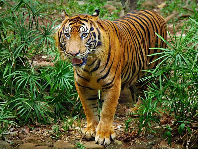 Lagi, Harimau Serang Warga di Masgo, BB TNKS dan TPH Turun ke Lokasi