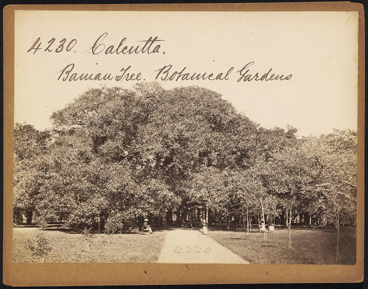 Botanical Gardens Great Banian Tree - Howrah - Mid 19th Century