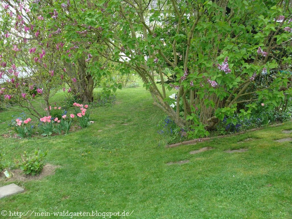 mein waldgarten kirschbaumbl ten wei er ginster rhodotypos scandens. Black Bedroom Furniture Sets. Home Design Ideas