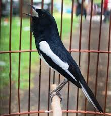 Sekilas Info Tentang Burung (Berita Burung) - Harga Kacer Mencapai Angka 35 Juta
