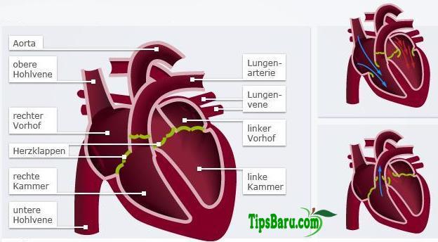Hubungan Antara Darah dan Jantung - PANGRANGOPRINT