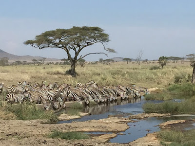 A herd of zebras finally discovers where to drink water