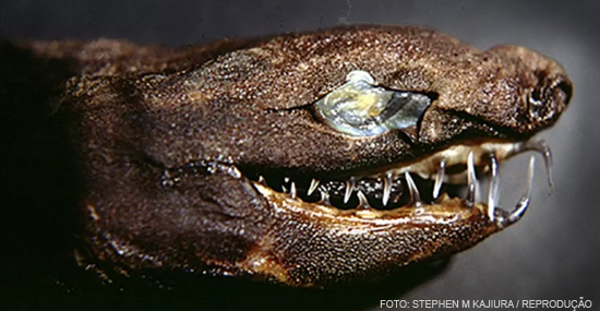 Tubarão Tenebroso - Espécie rara reaparece das profundezas - Capa