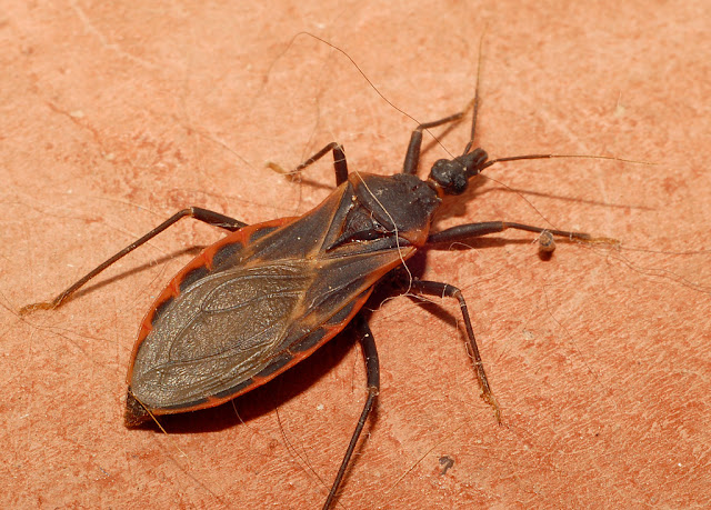 Kissing Bug hindi