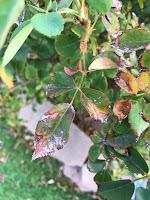 Compound leaf of rosebush with dark margins and white build-up on leaflets.