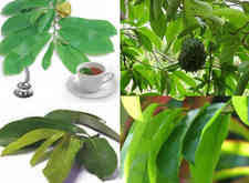 12 BENEFITS OF SOURSOP LEAVES FOR HEALTH & HOW TO CONSUME - HEALTHY T1PS