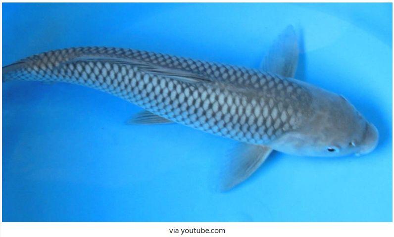 Jenis-Jenis Ikan Koi Soragoi