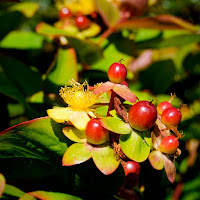 Hypericum%2Bberries.jpg