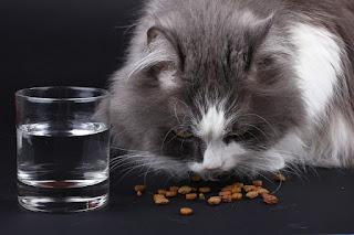 Perbedaan Kucing Jantan dengan Betina