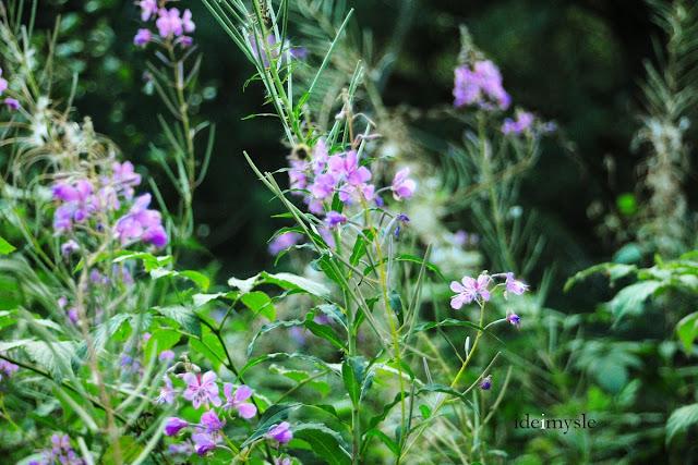 wierzbownica kiprzyca, chamaenerion angustifolium, epilobium angustifolium, fireweed, dzikie rośliny użytkowe