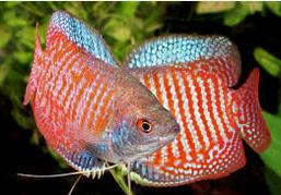 10 Ikan Hias Air Tawar Terindah Gourami