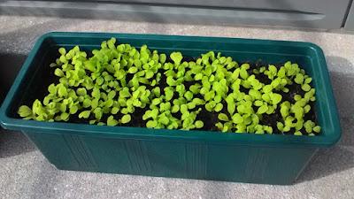 """Šalát pestujem naozaj """"nahusto"""" a zberať budem iba mladé listy - najprv pretrhávať celé rastliny a neskôr zostrihám všetky listy tak, aby srdiečka (rastové vrcholy) zostali nepoškodené .  Aj preto je substrátu trochu menej, aby som mohla strihať vo výške okraja nádoby."""