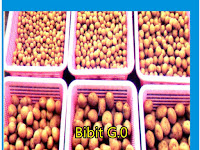 Bibit Kentang G0 Size  S