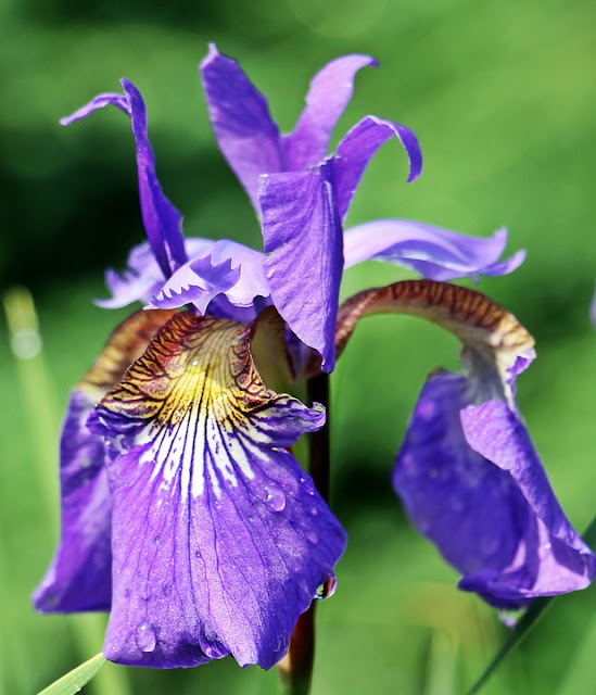 Iris Sibirica and Iris Sanguinea