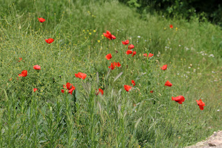 Poppies have sprung up everywhere again