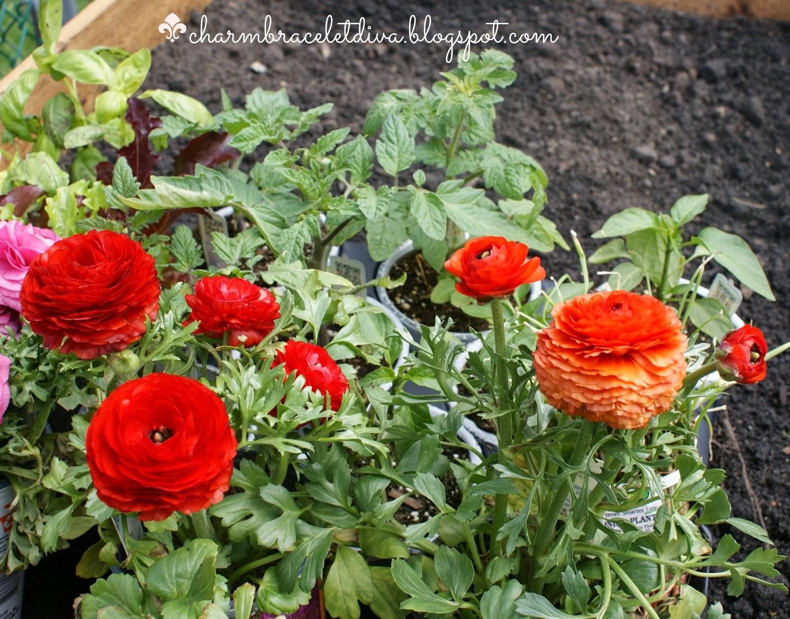 pink, red and orange garden ranunculas