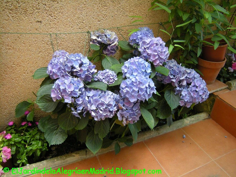 El Jardin De La Alegria Que Hacer Para Que Las Hortensias Sean - Hortensias-cuidados-maceta