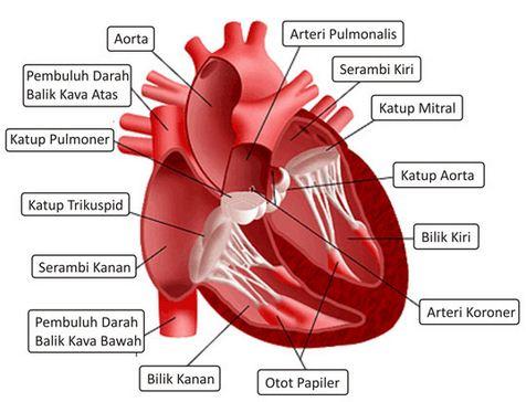 Pengertian Jantung, Letak Jantung dan Struktur Anatomi Bagian-bagian Jantung