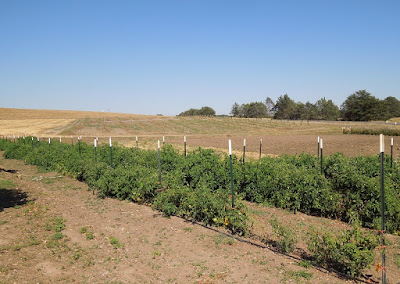 This Year's Heirloom Tomatoes Growing at Jack Creek Farms, © B. Radisavljevic