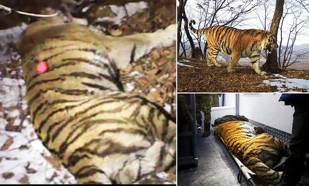 Harimau Terluka Mencari Manusia untuk Meminta Bantuan