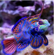 Ikan Hias Air Laut Dragonetfish