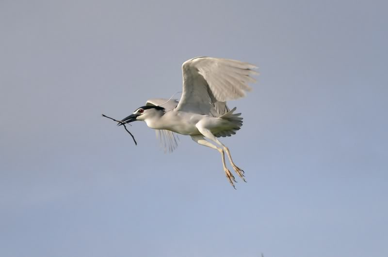Picture of a black-crowned night heron in flight.