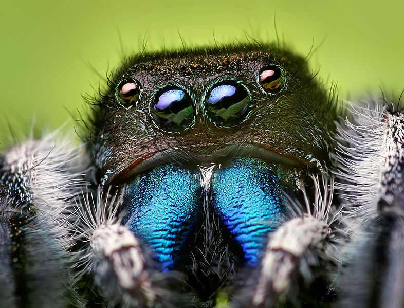 Arachnids: Phidippus audax male