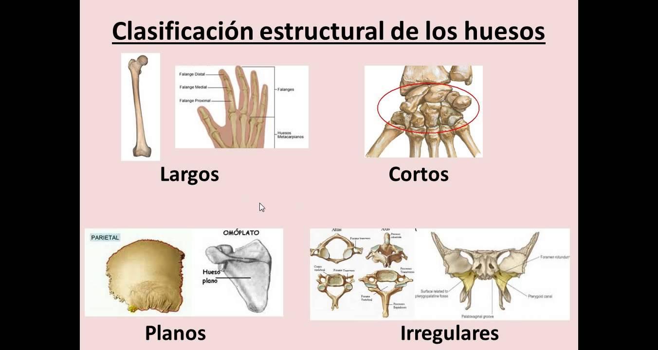 Resultado de imagem para clasificación del huesos