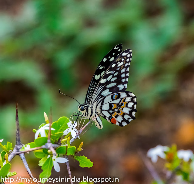Butterflies at Gandikota