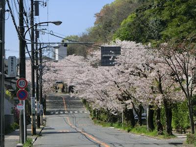 ハイランドの桜並木