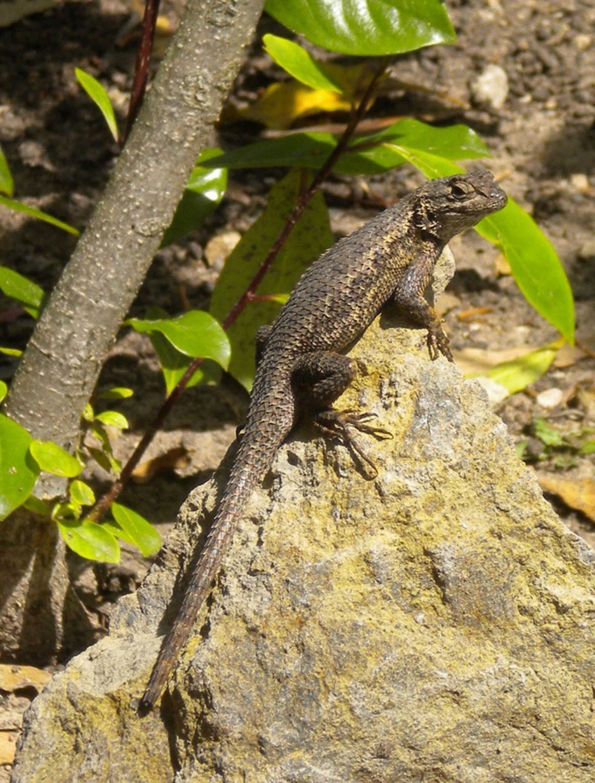 The Malibu Post: Living with Lizards