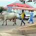 What A Cow Says About The President By Azu Ishiekwene - SR