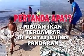 Video Ribuan ikan terdampar di Pantai Ujung Pandaran Sampit, Pertanda apakah?