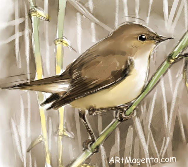 Reed warbler sketch painting. Bird art drawing by illustrator Artmagenta.