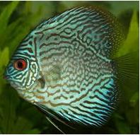 Sejarah Ikan Hias Discus ikan hias air tawar mahal
