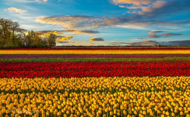 Festival Tulip, Belanda