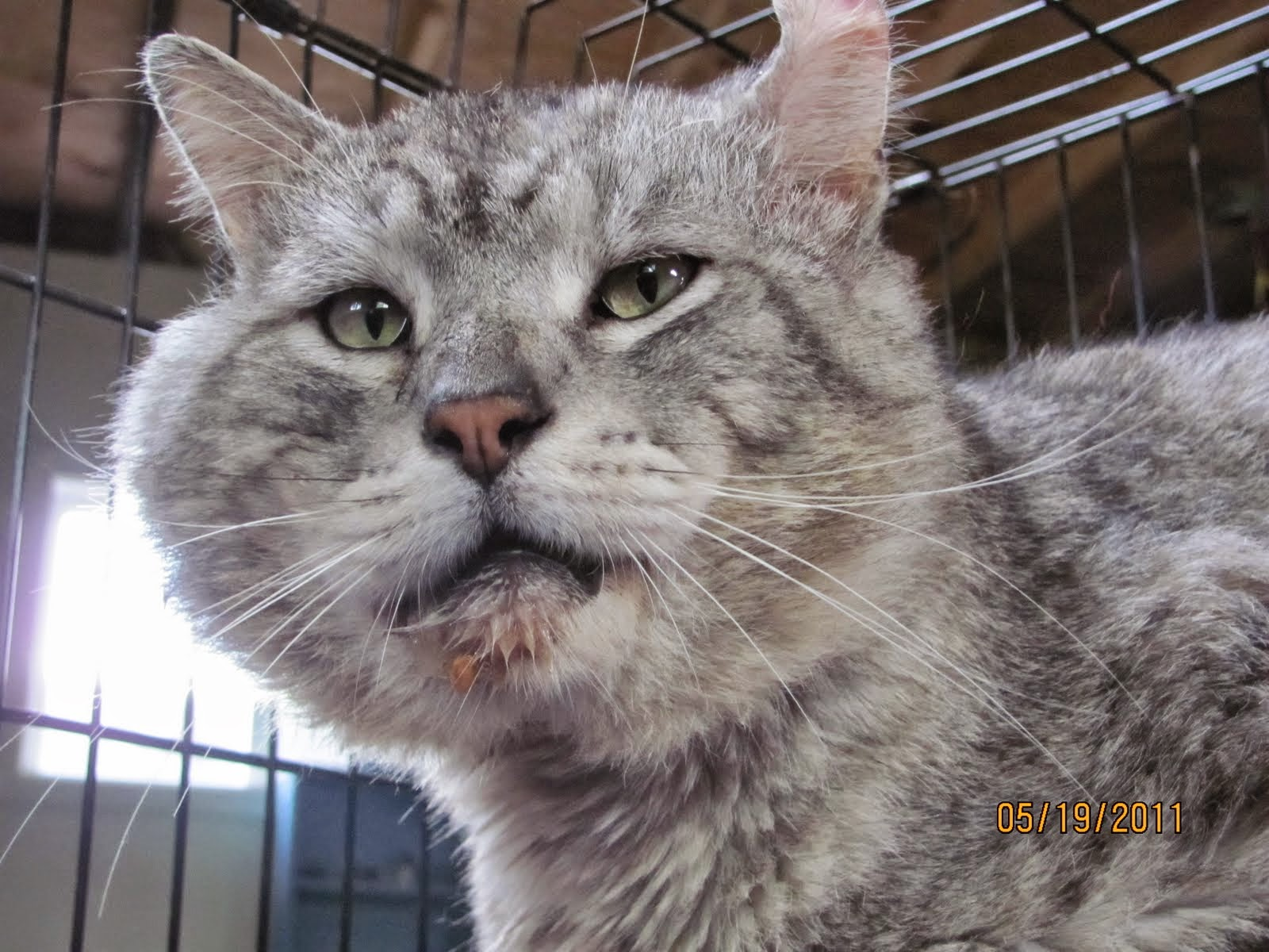 side facial swelling in cats jpg 1200x900