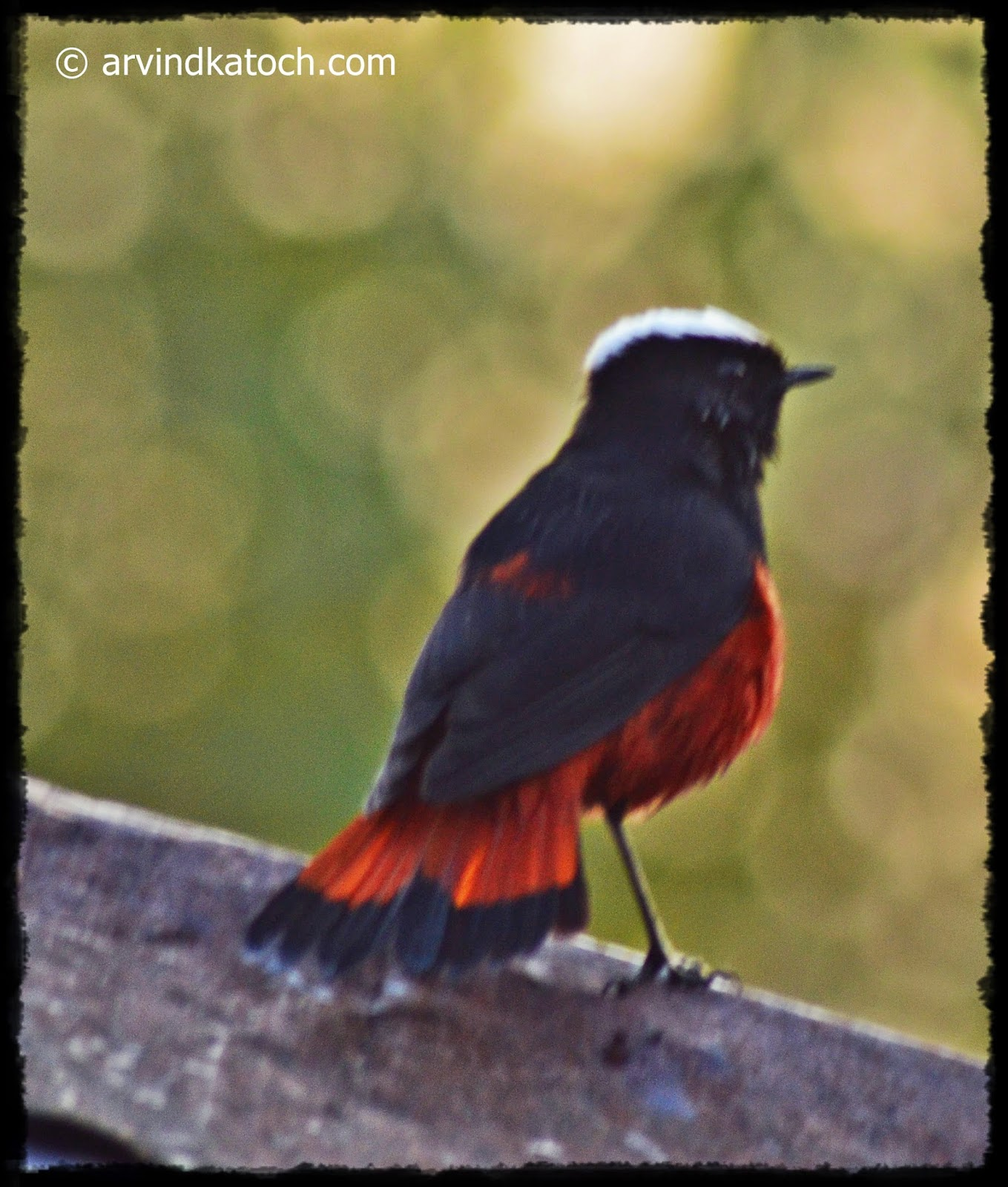 White-capped Redstart,