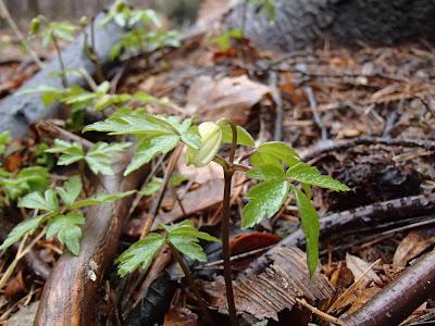 Zawilec gajowy - Anemone nemorosa