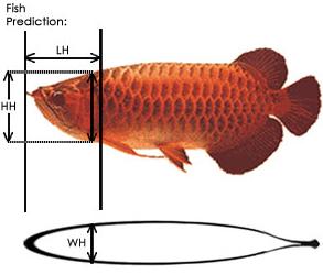 Cara Membedakan Ikan Arwana Jantan Dengan Betina Dengan Menggunakan Indeks Kelamin Arowana (AGI)