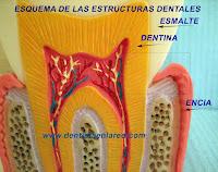"""<Imgsrc=""""esquema-cuello-dental-normal.jpg"""" width = """"2464"""" height """"1944"""" border = """"0"""" alt = """"Esmalte dental"""">"""