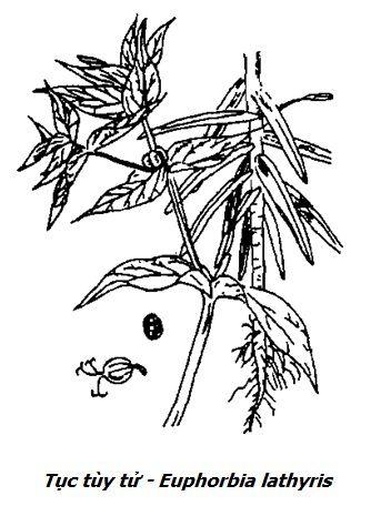 Hình vẽ Tục tùy tử - Euphorbia lathyris - Nguyên liệu làm thuốc Nhuận Tràng và Tẩy