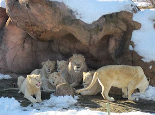 White Lions. Blowing Through My Mind.