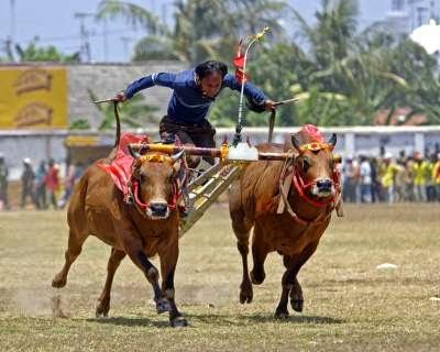 Tradisi Karapan Sapi Di Madura