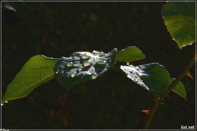 mưa rơi trên nhánh hoa hồng