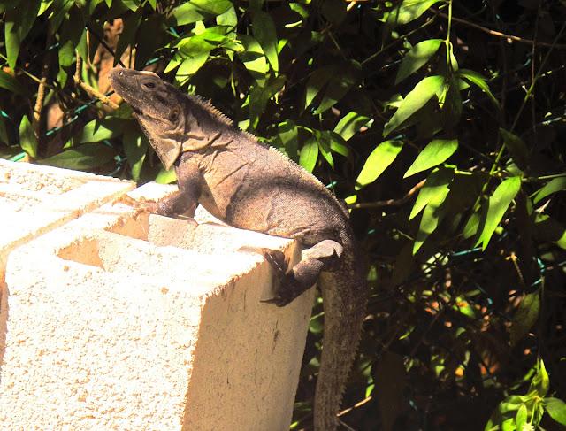 iguana ödla - Tulum