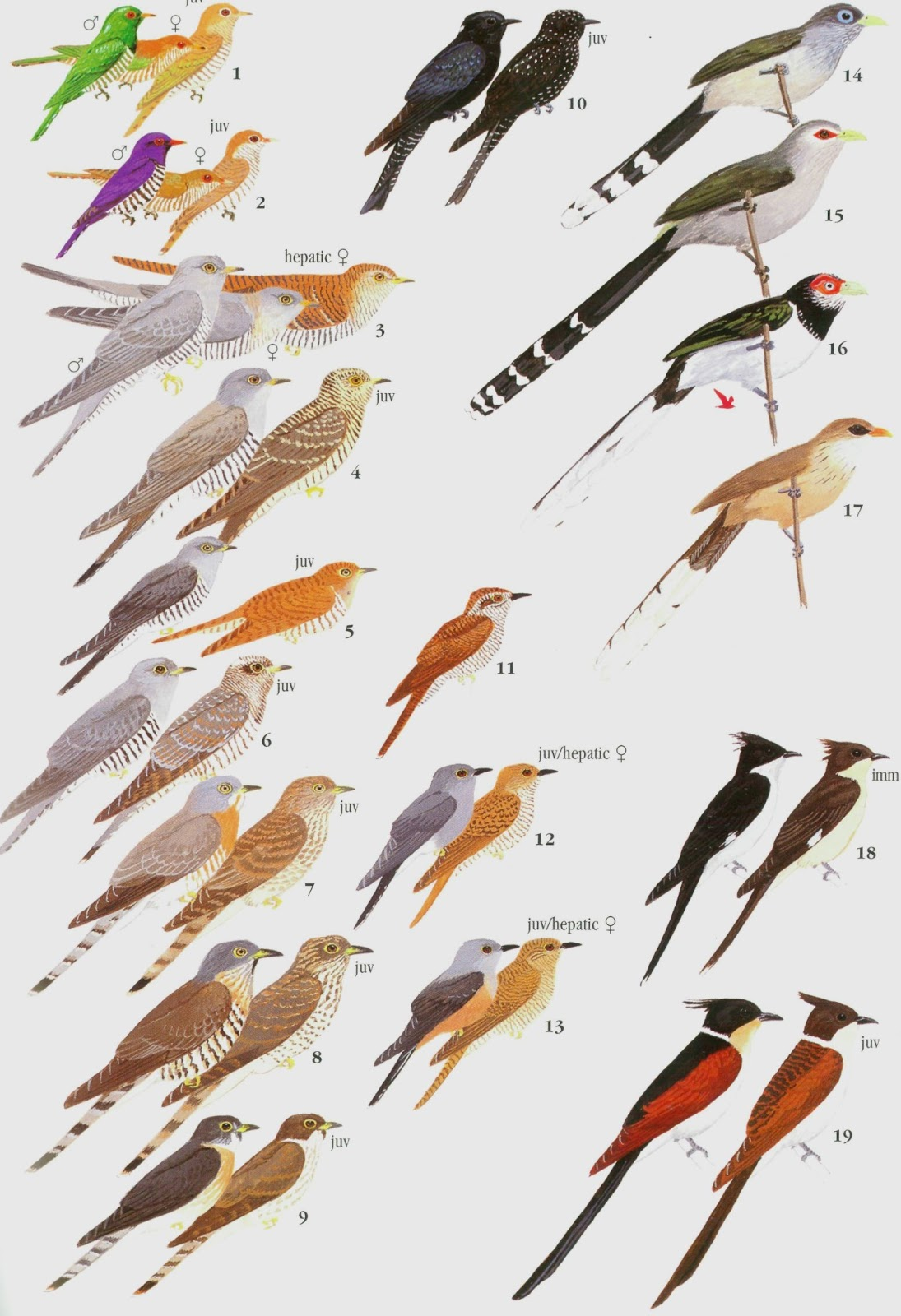 amature naturalist members of cuckoo family plate from birds of by krys kazmierzak