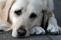 canine cancer treatments for hemangiosarcoma