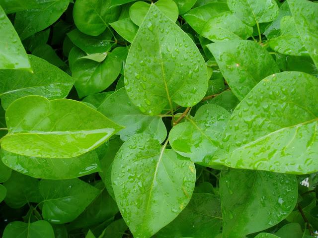 LILO-Syringa-vulgaris