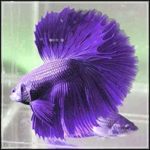 830+ Gambar Ikan Cupang Dan Harganya Gratis Terbaru